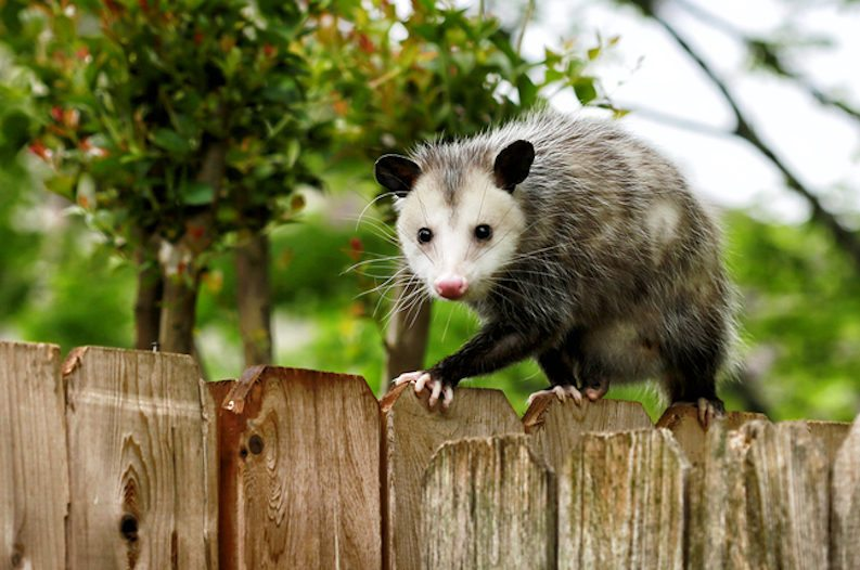 How to Get Rid of Possums In Your Yard & House in 48 Hours?
