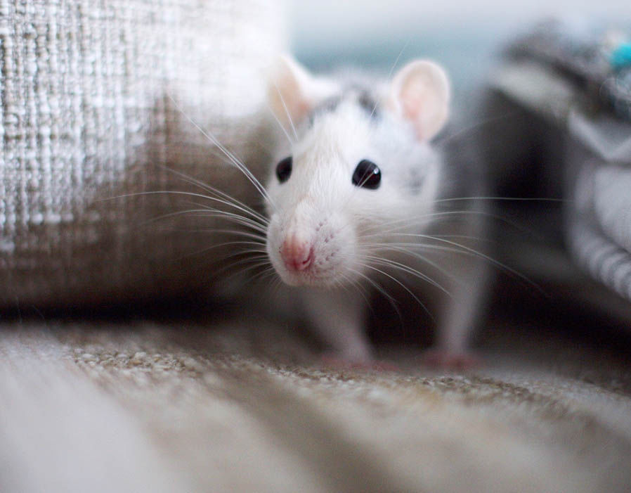 Mice Are Opportunists And If They Can Find Their Way Inside Your Warm Dry Home With A Constant Source Of Food Will Take That Opportunity