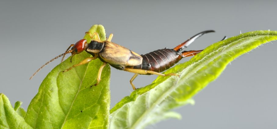The Best Way to Get Rid of Earwigs in 48 Hours or It's Free